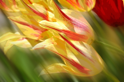 Flowing Tulips