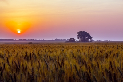 Sunrise Over Kansas Wheat Field