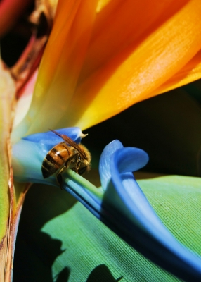Bee And Bird Of Paradise