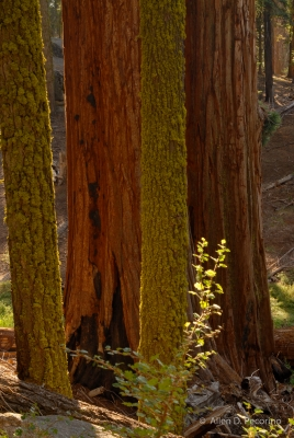 Sequoias And Mossy Pines