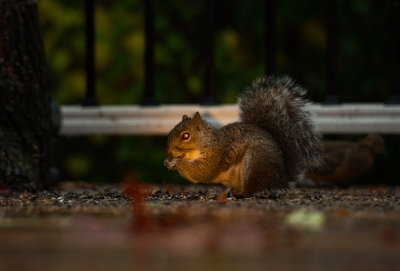 The Squirrel With Red Eyes