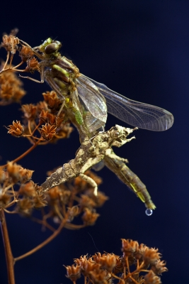 Metamorphosis Of A Dragon Fly