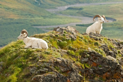 Dall Sheep #4