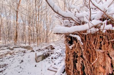 Winter, Stump, Vines, Snow, Trees