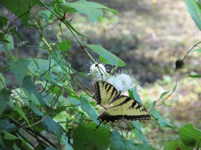 Butterfly In A Buttonbush4