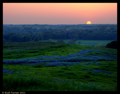 Bluebonnet Delight