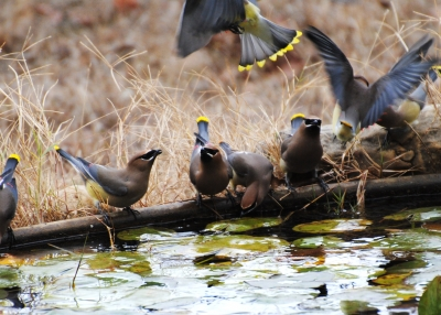 Waxwing Poetic At The Watering Hole