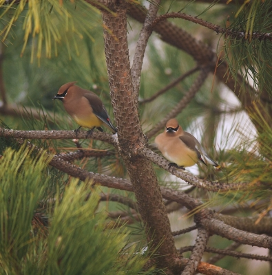 Waxwings In Pine Tree 2