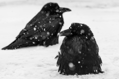 Ravens In The Snow