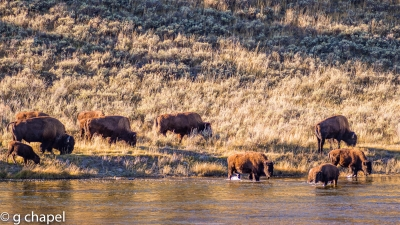 Bison By The River