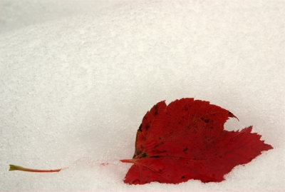 Red Leaf In The Snow