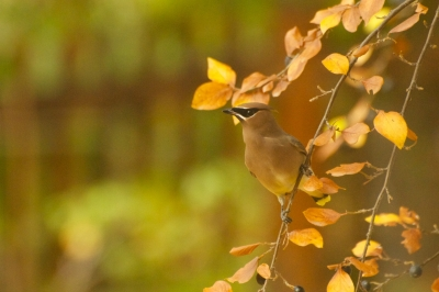 Cedar Waxwing On A Golden Day