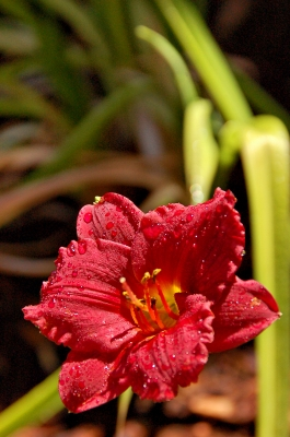 Cranberry Baby Day Lilly