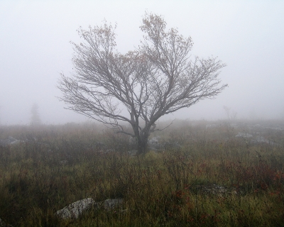 Tree In Fog At Dolly Sods