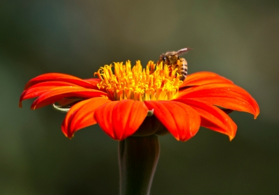 Bee On Zinnia Flower
