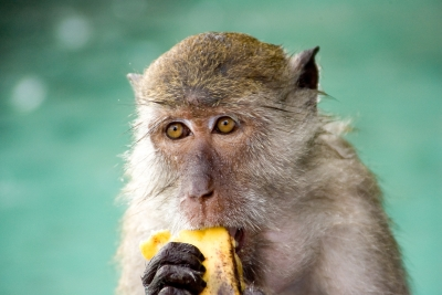 Macque Eating Banana