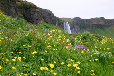 Icelandic Wildflowers