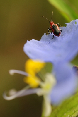Flower Beetle On Dayflower