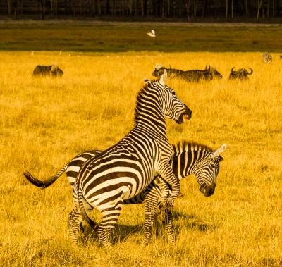 Zebra Encounter