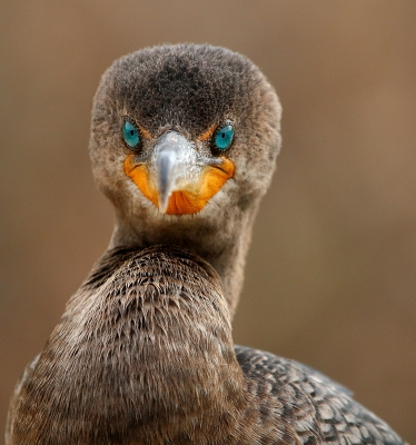 Direct Eye Contact With A Cormorant