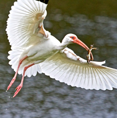 White Ibis With Frog Breakfast