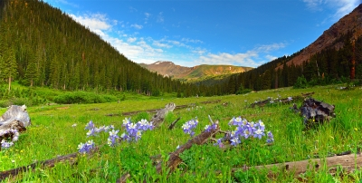 Columbines In Herman Gulch