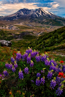 Lupine And Paintbrush, Mt. St. Helens