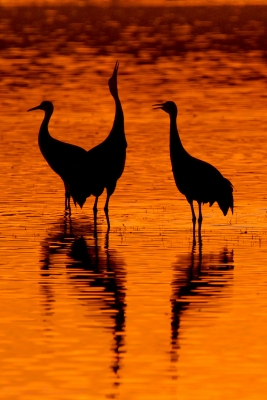 Sandhill Cranes Setttle In For The Night