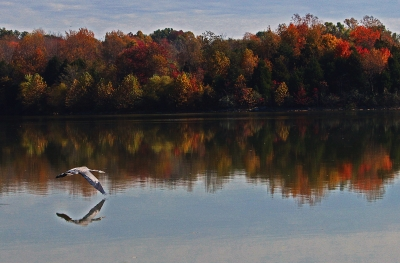 Blue Heron Over Freeman Lake