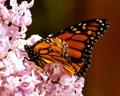 Marcella's Migrating Monarch
