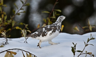 Ptarmigan In The Snow