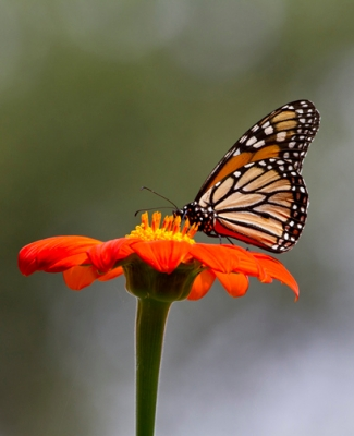 Monarch Butterfly On A  Zinnia Flower