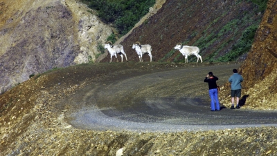 Dall Sheep And The Hikers