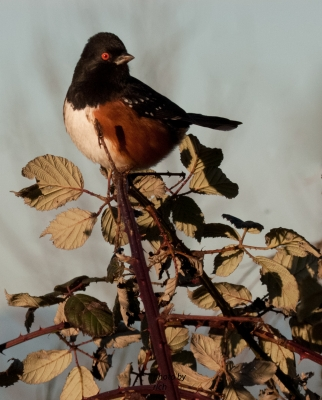 Roufous Sided Towhee