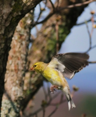 Finch In Fligft