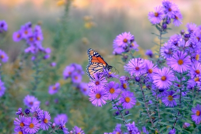 Monarch Butterfly Resting At Dusk During Autumn Migration