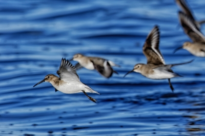 Dunlin Over Padilla Bay