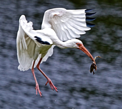 White Ibis Arriving With Frog Breakfast