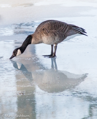 Winter Reflections – Canadian Goose