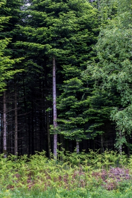 Black Forest Trees – 2