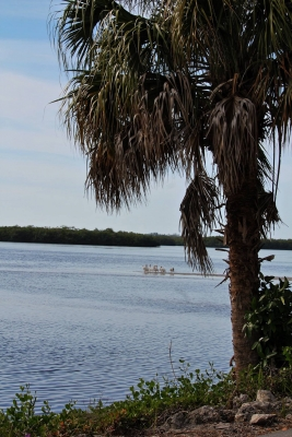 The White Pelicans From Afar