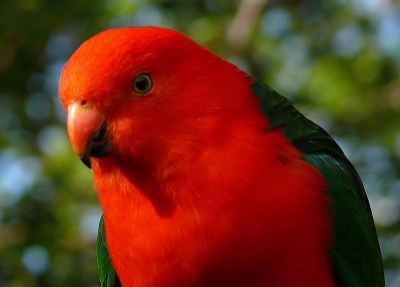 A Male King Parrot
