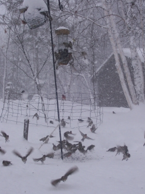 Fluttering Birds Feed In The Midst Of A Snow Storm