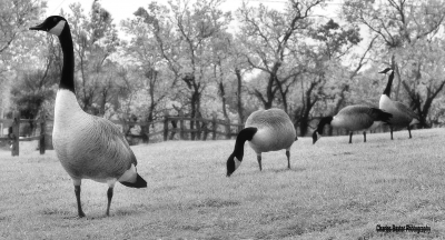 Geese For Geezers