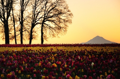 Sunrise At The Tulip Festival