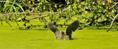 Green Heron Spears Lunch (hi Res)