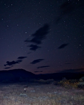 Bugling Bull Elk, Night Sky