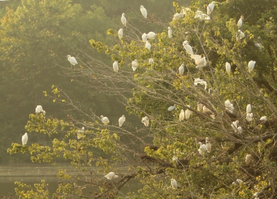 Morning Rookery