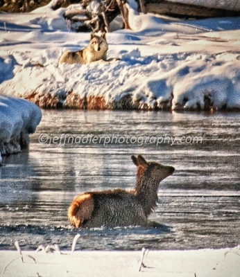 Elk And Wolf In Winter