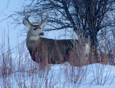 Four Point Mule Deer